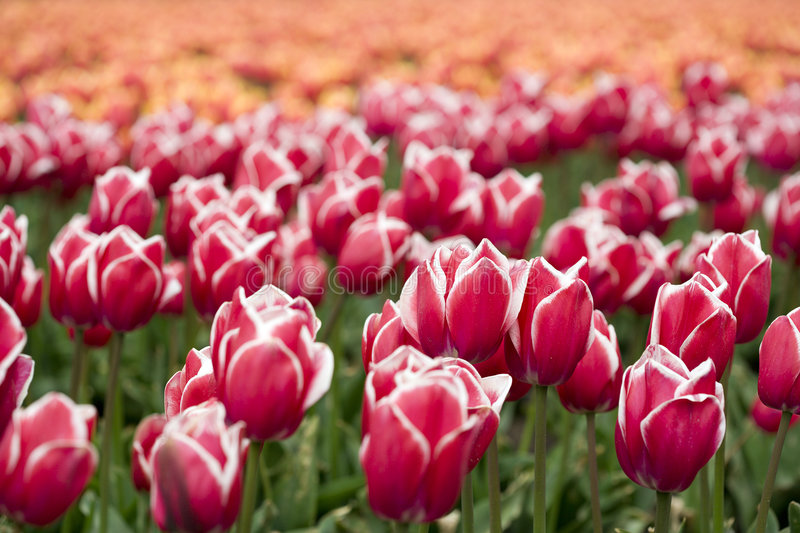 Download Red-white Tulips On A Field Stock Image - Image of netherlands, holland: 5165139