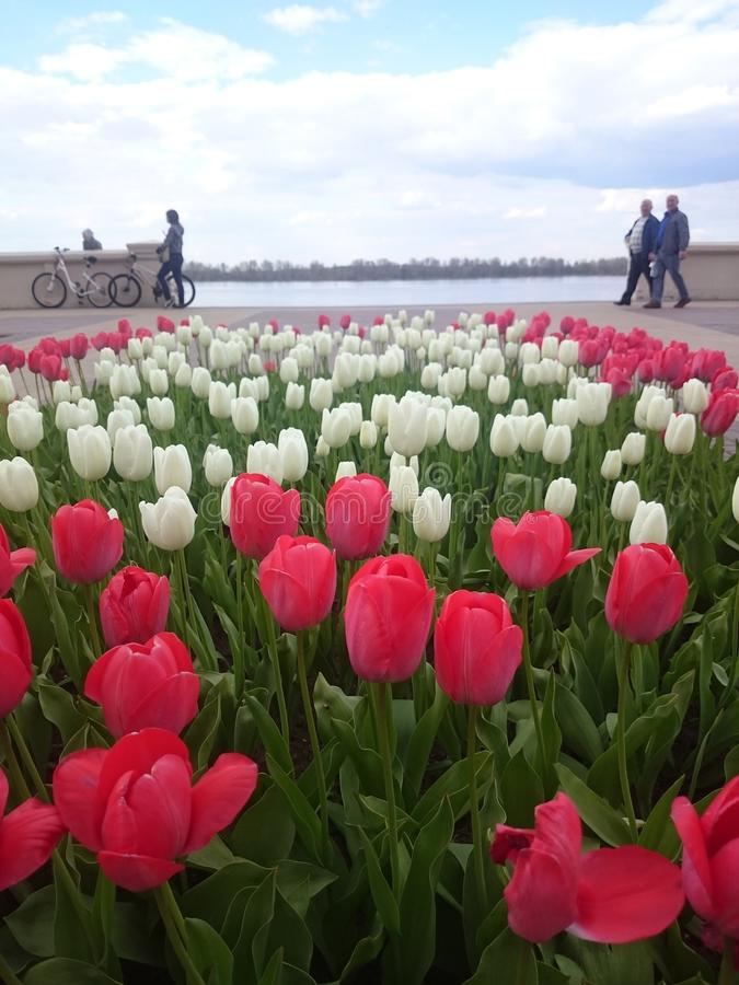 Red and white tulips royalty free stock images