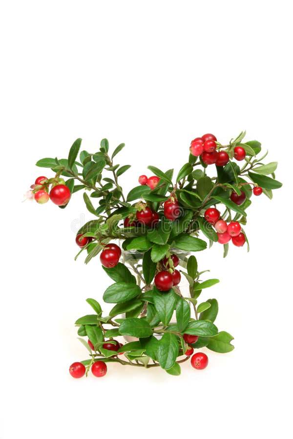 Red whortleberry royalty free stock photos