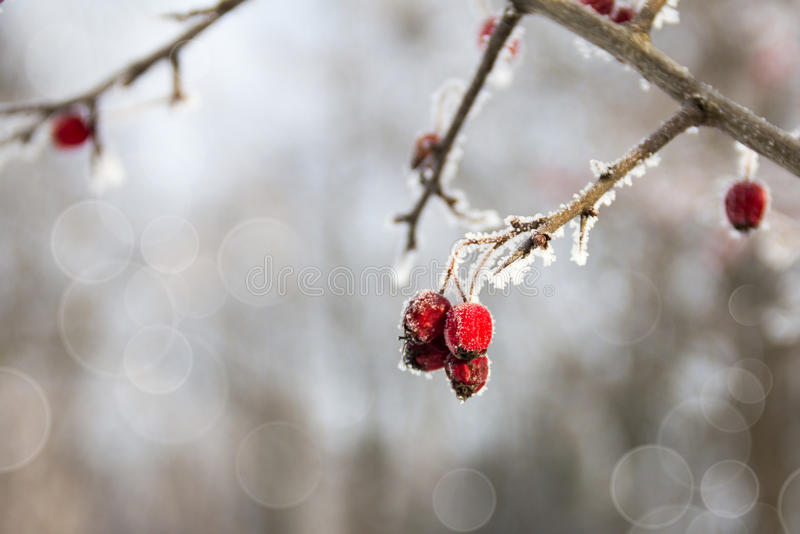 Red wild apples on the branch in the winter stock image
