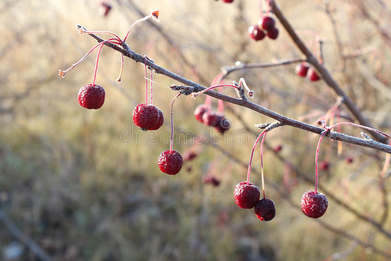 Red wild apples in morning hoarfrost royalty free stock photos