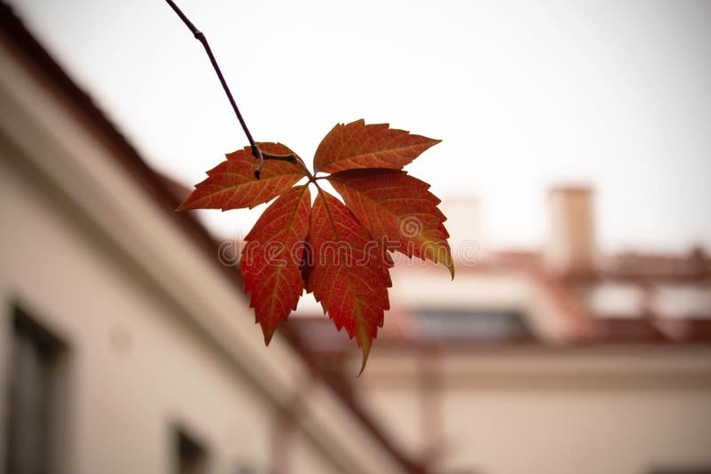 Red wild grape leaf on blurred building roof background royalty free stock photography