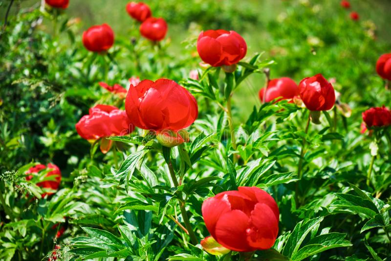 Red wild peony flowers Paeonia peregrina, a herbaceous perennial plant field near Enisala, Romania, on a protected reservation. Red wild peony flowers Paeonia royalty free stock images