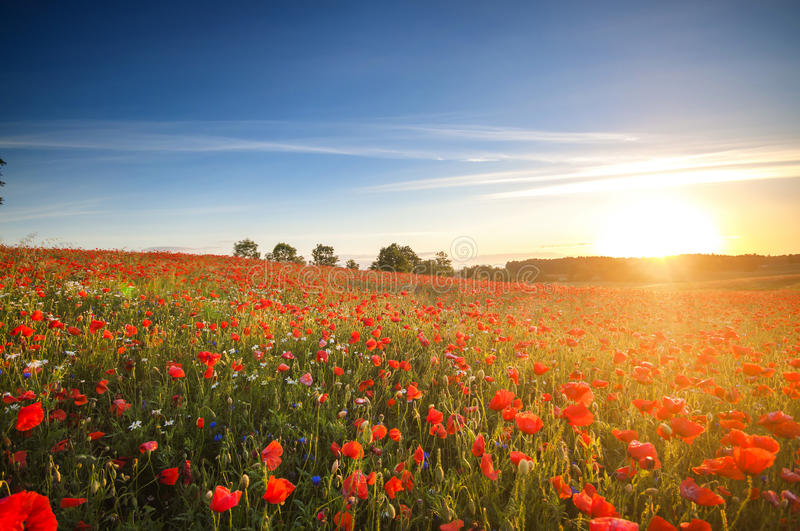Red Wild poppies in the meadow at sunset, amazing background photo. To jest Polska – Mazury stock photos
