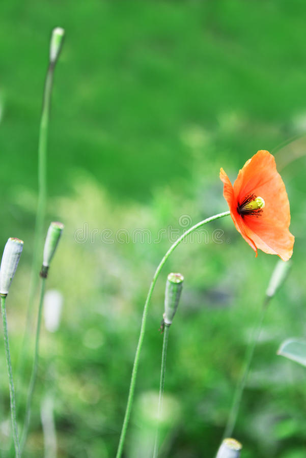 Red wild poppy. Flower of red wild poppy on green grass royalty free stock photography