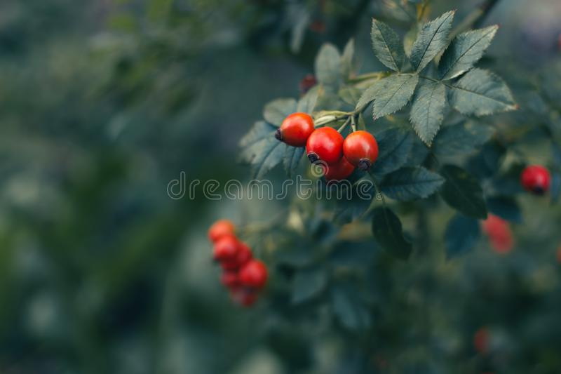 Red wild rose hips with green leaves on dark green background royalty free stock photos