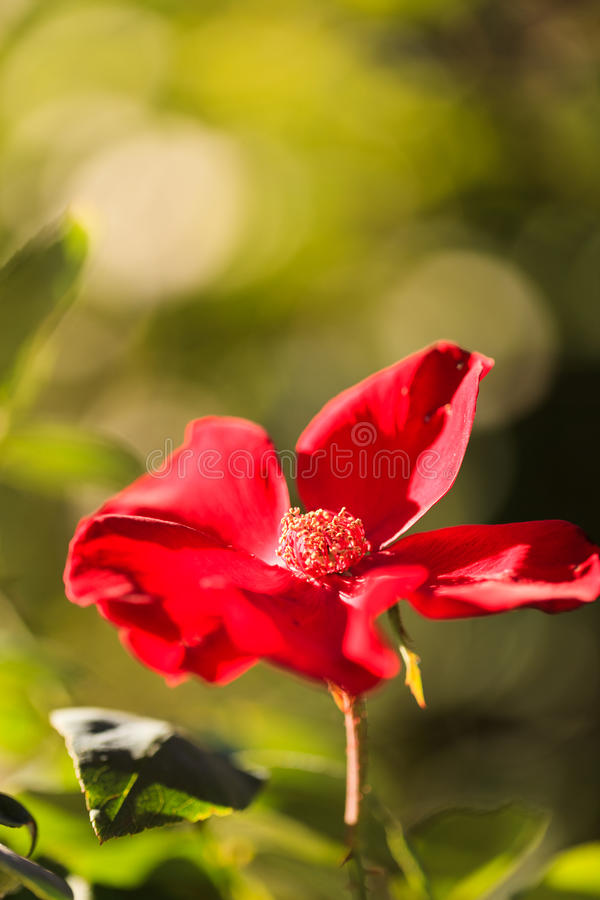 Red wild rose. Wild roses on a beach in summer in Chatham, Massachusetts on Cape Cod royalty free stock image