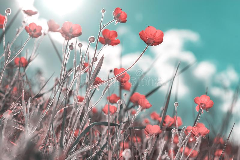 Red wildflowers against the sky. Vintage colors stock image