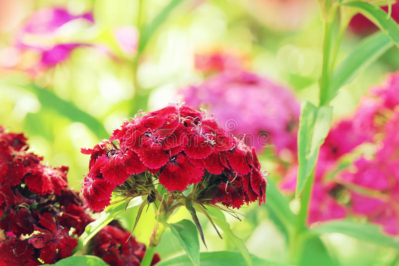 Red William flower. (dianthus barbatus stock photos