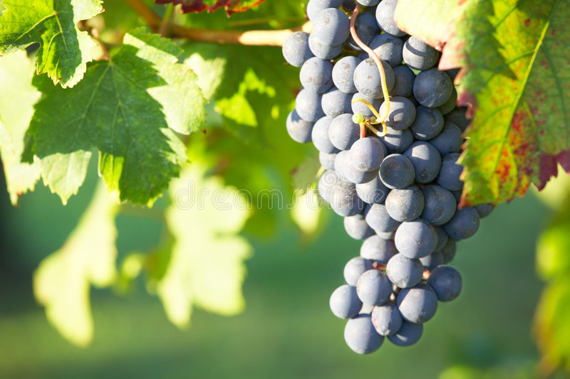 Red Wine grape. Close view of a red grape (Nebbiolo grape varieties), Piedmont hills, north Italy stock photos