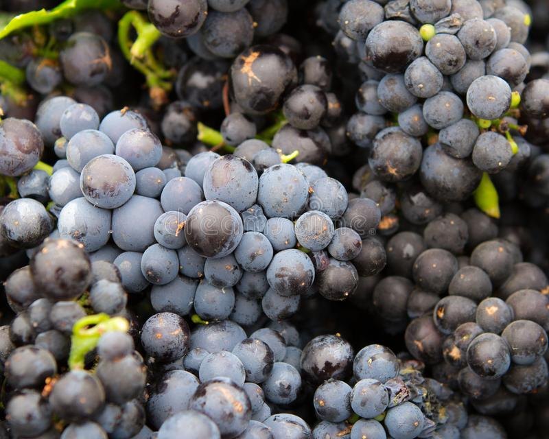 Red Wine Grape Clusters at Harvest. Red wine grape clusters gathered for harvest crush. Sonoma County, California, USA royalty free stock image