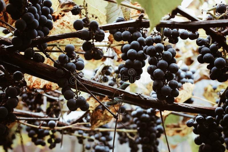 Red-wine grape growing in autumn vineyard royalty free stock photo