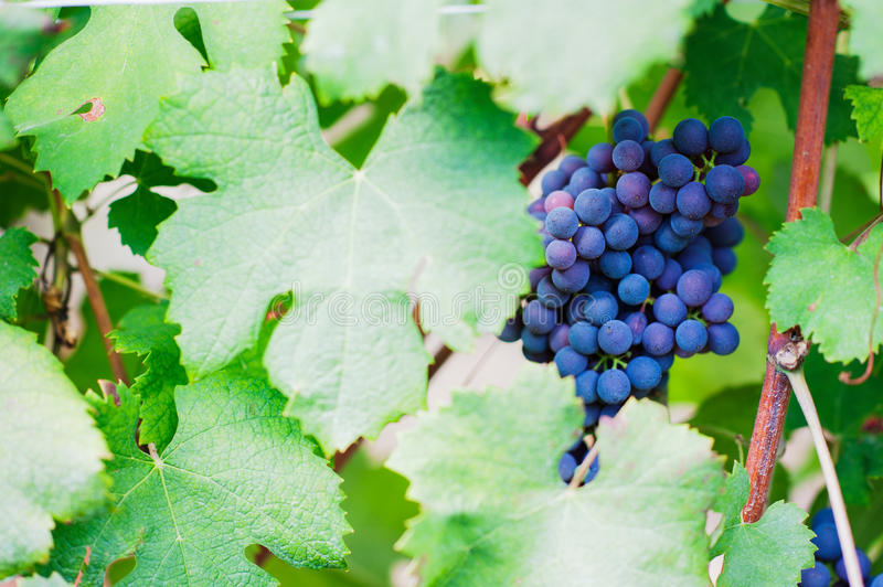 Red wine grape. In a vineyard with shallow depth of field to create a natural and elegant image royalty free stock photography