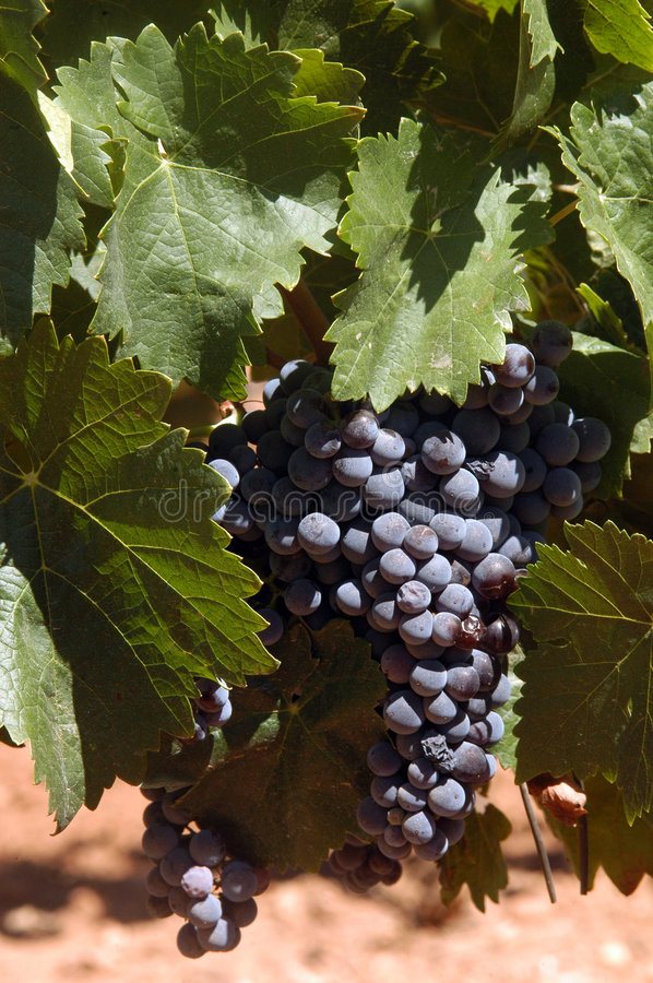 Red wine grapes royalty free stock photography
