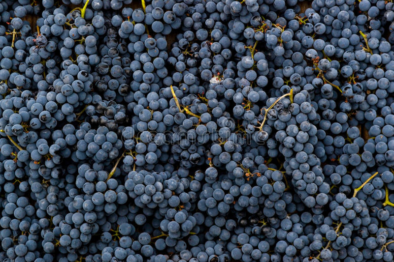 Red wine grapes background stock photography