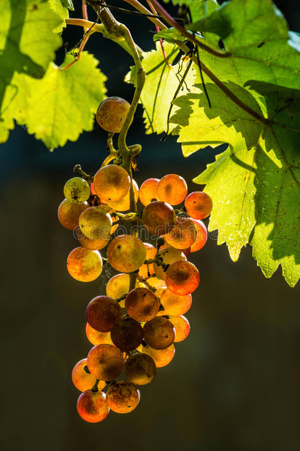 Download Red wine grapes stock photo. Image of berry, colorful - 33926496