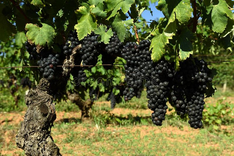 Wine Grapes, Tuscany, Italy stock photos
