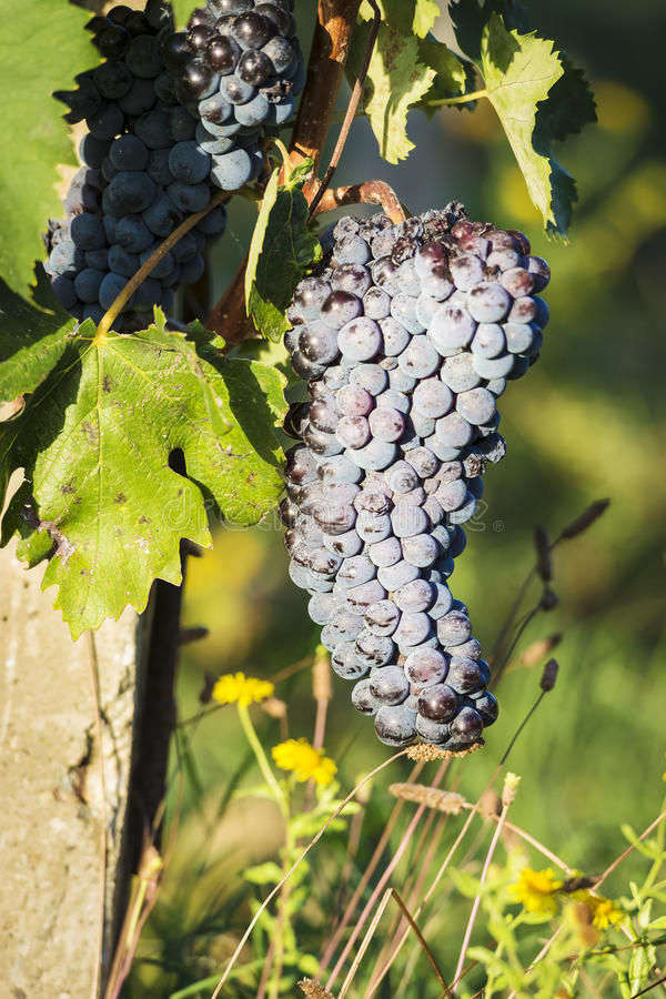 Red Wine Grapes Tuscany Stock Photography