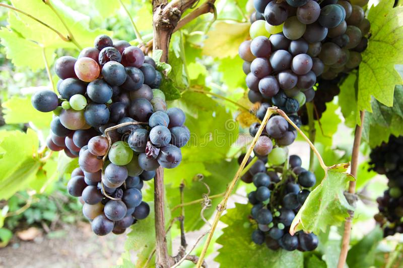 Red wine grapes on vine in vineyard, close-up stock image