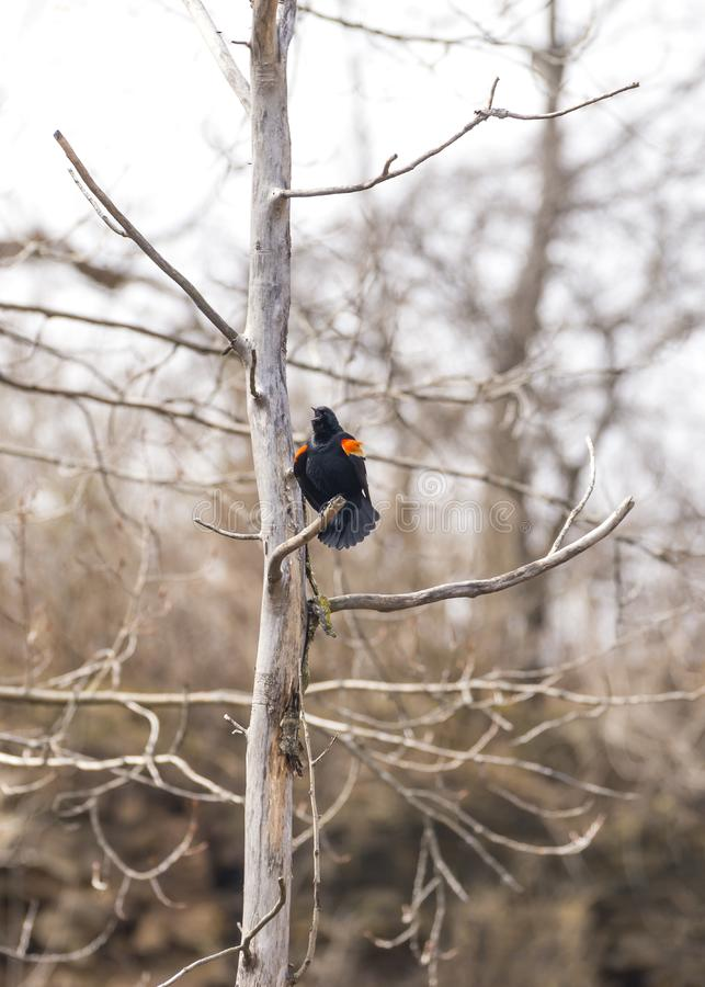 Red wing black bird chirps loudly calling out in early spring to stock images