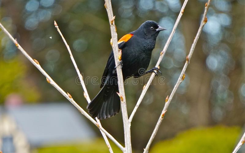 A Red-wing Blackbird stock photo
