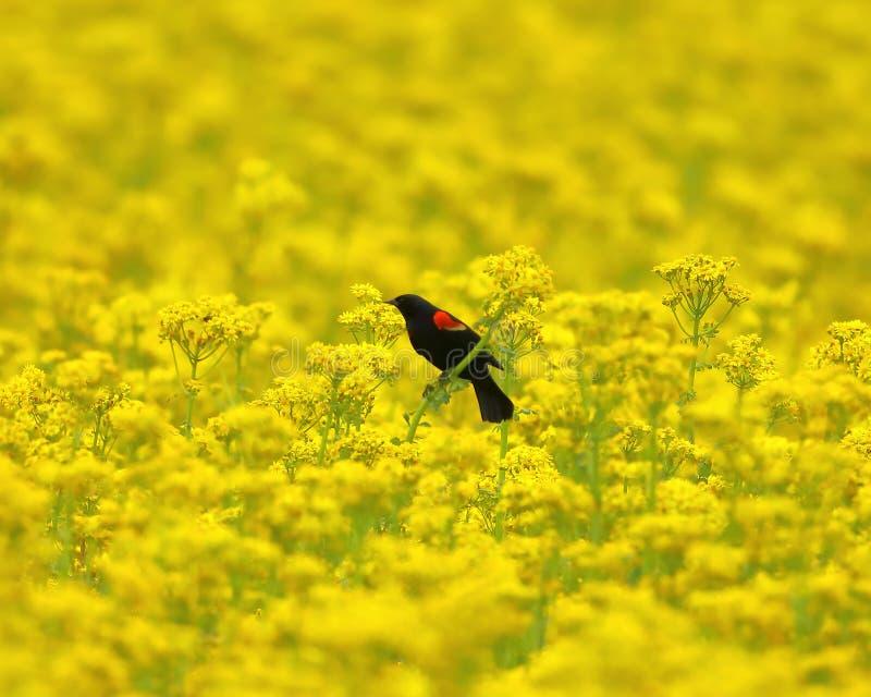 Red-winged κότσυφας σε έναν τομέα των κίτρινων wildflowers στοκ φωτογραφίες