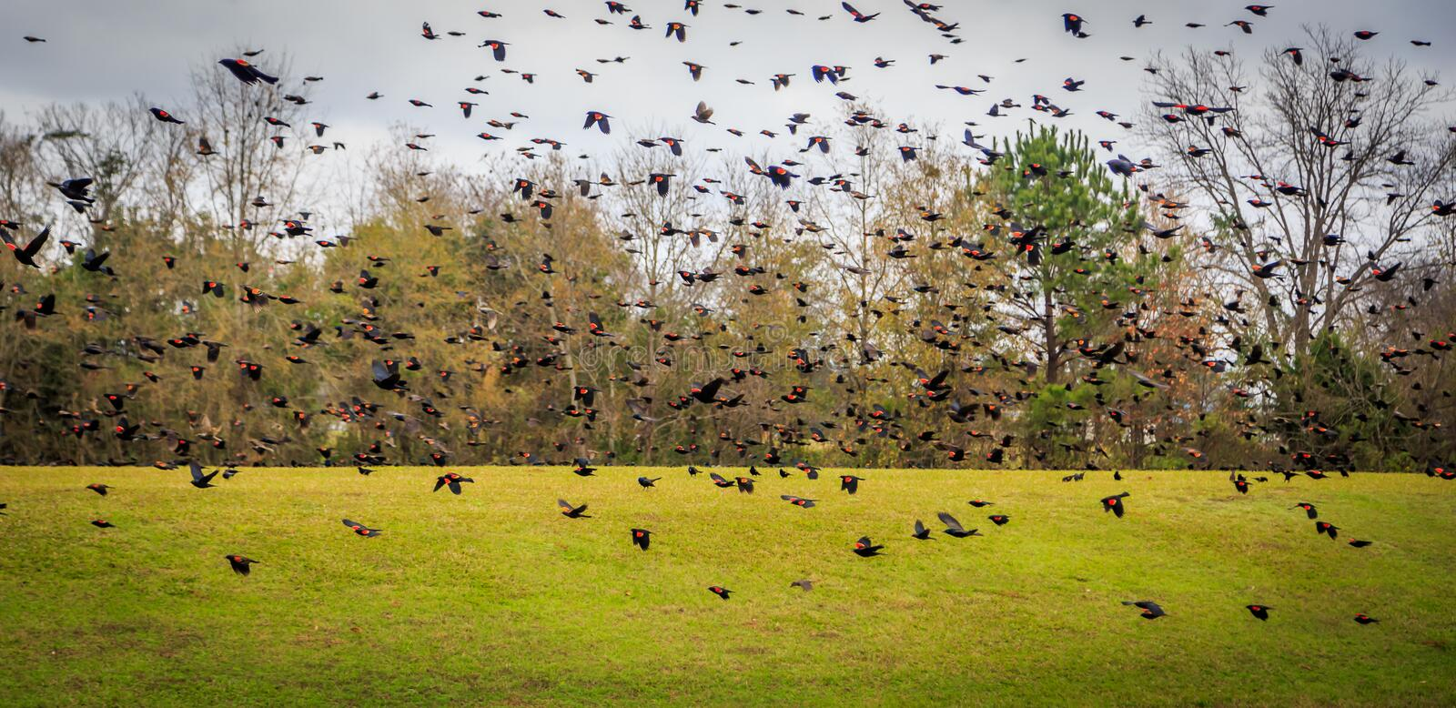 Red Winged Black Birds. Picture of an excerpt of thousands of Red Winged Black Birds as they leaf frog across an open field during migration royalty free stock photos