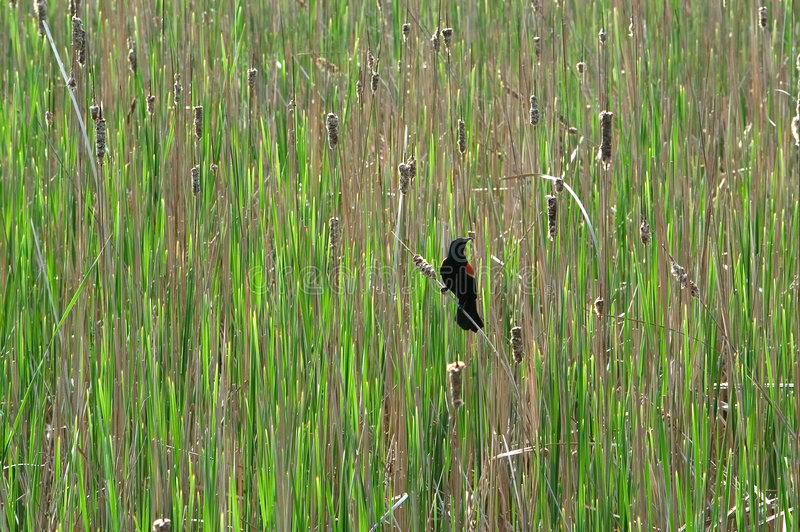 Download Red-winged Blackbird stock image. Image of field, nesting - 3259