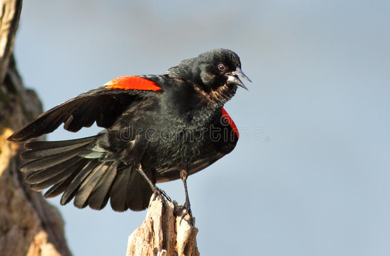 Red Winged Blackbird Royalty Free Stock Photography