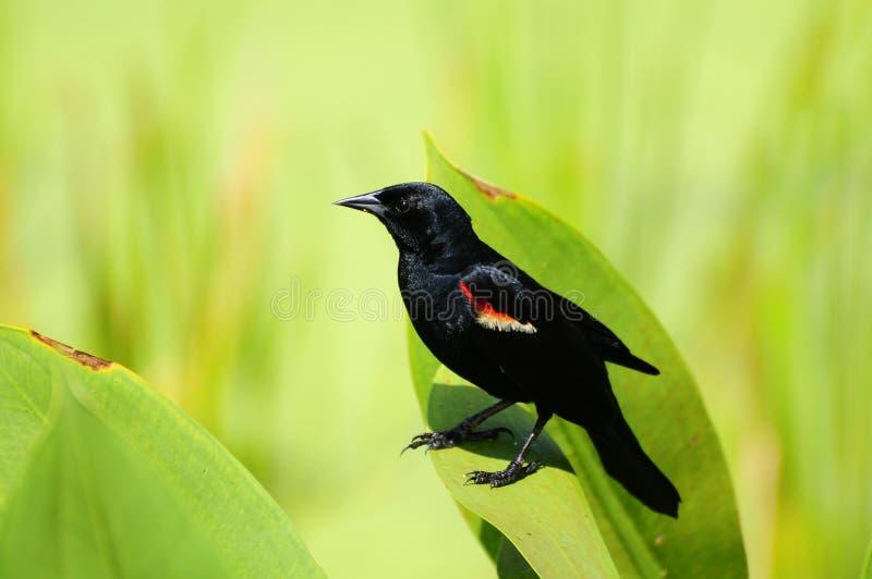 Red-winged Blackbird Royalty Free Stock Photo