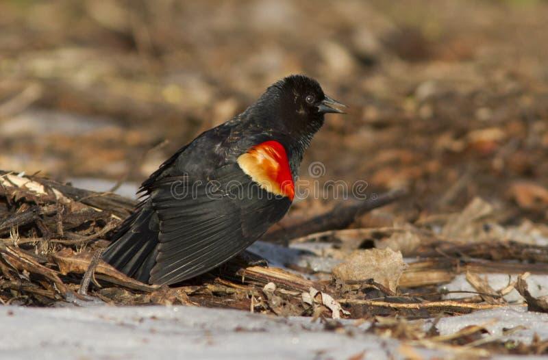 Red Winged Blackbird Royalty Free Stock Photos