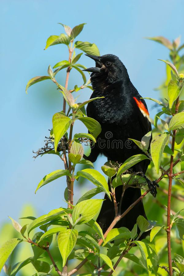 Download Red-winged Blackbird - Agelaius Phoeniceus Stock Photo - Image of environmental, nature: 118766656