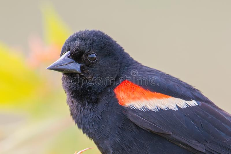 Red-winged blackbird closeup portrait - perched in the Minnesota Valley Wildlife Refuge stock photography