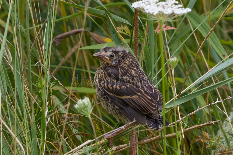 Red-winged Blackbird. Fledgling Red-winged Blackbird perched in field grass stock photos
