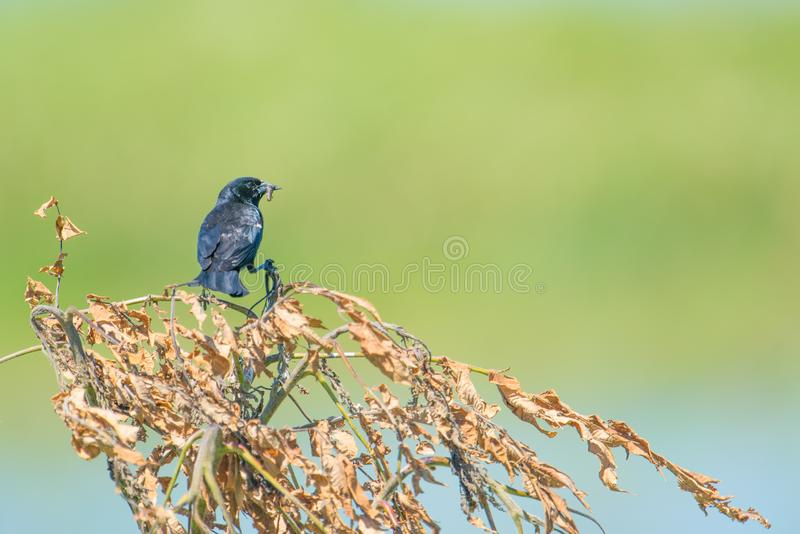 Red-winged blackbird with a grub in its mouth - smooth green bokeh / background - taken in the Crex Meadows Wildlife Area in North stock image