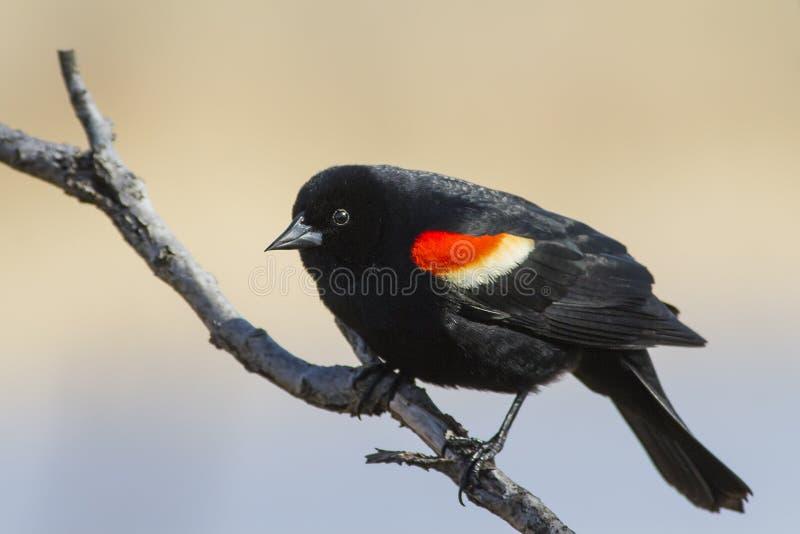 Red winged blackbird male stock photos