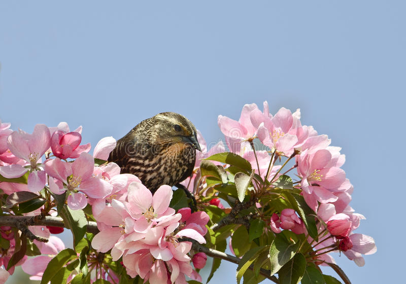 Red-winged blackbird in pink flowers stock photos