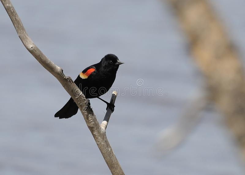 Red-winged blackbird Stock Photos. Red-winged blackbird profile view royalty free stock photos