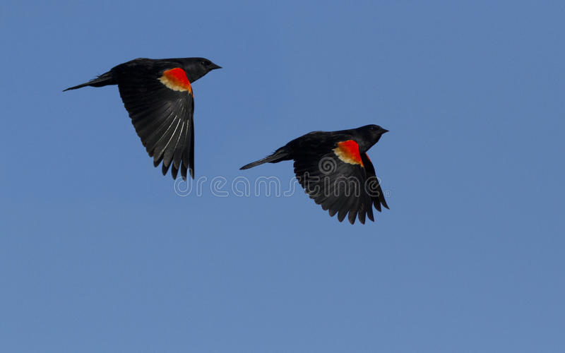 Download Red Winged Blackbirds In Flight Stock Image - Image: 24419581
