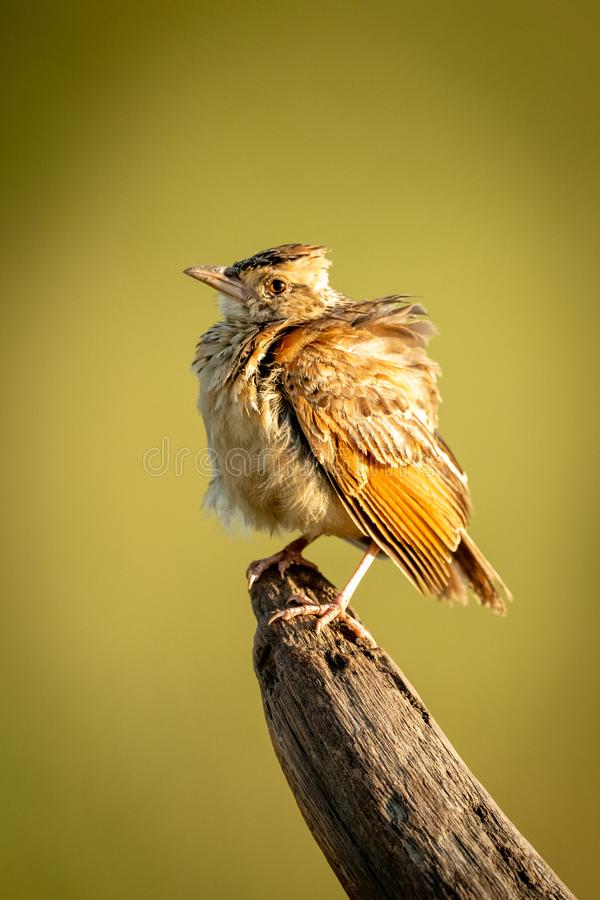 Red-winged lark on dead branch with catchlight royalty free stock photography