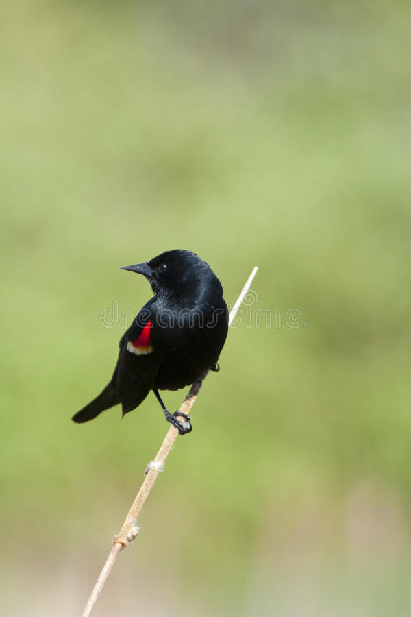Red-winged Merel stock foto