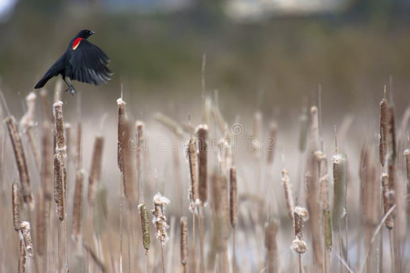 Red-winged Merel stock afbeeldingen