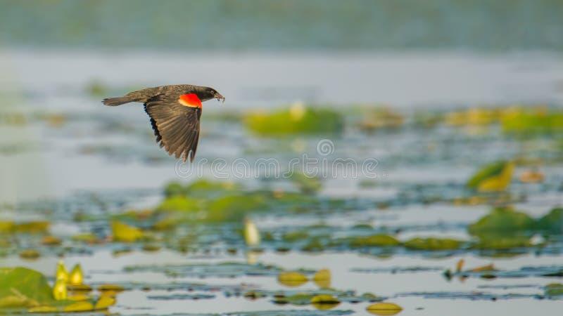 Red-winged merel die over de leliestootkussens vliegen op een meer - zomer op het Crex-Gebied van het Weidenwild in Noordelijk Wi stock afbeeldingen