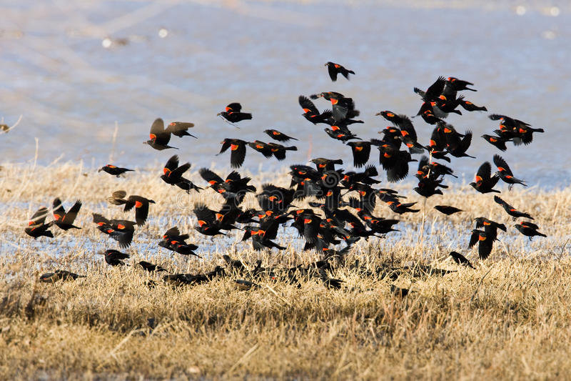 Red-Winged Merels royalty-vrije stock fotografie