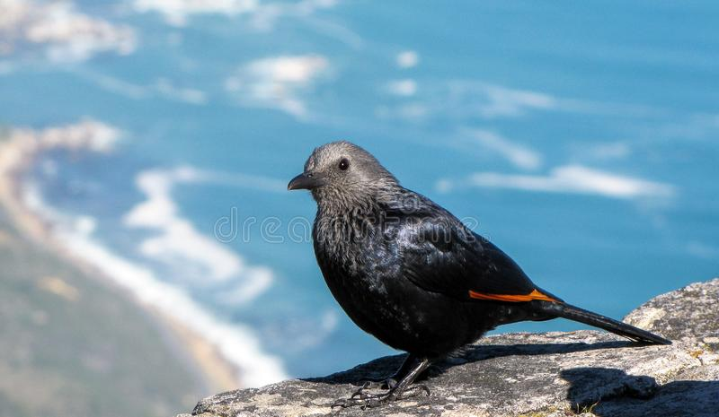 Red-winged Starling, Table Mountain, Capetown, South Africa. The red-winged starling  is a bird of the starling family Sturnidae native to eastern Africa and the royalty free stock images