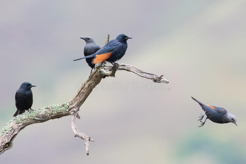 Red-winged starling take off from a dry branch. With spread wings royalty free stock photos