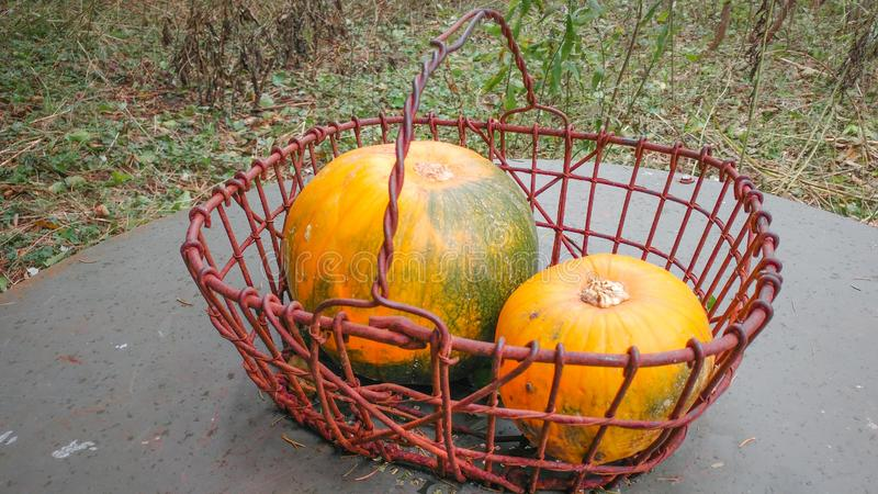 Red Basket with Two Medium Pumpkins royalty free stock images