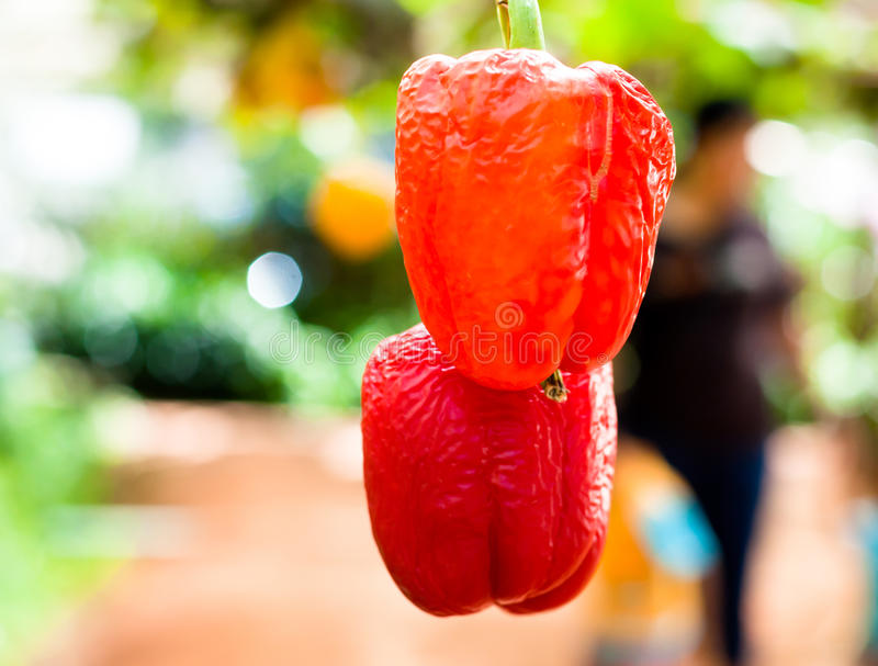the red wither bell pepper hanging on tree in farm. selective focus royalty free stock images