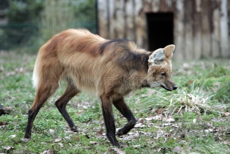 Download Red wolf stock photo. Image of human, wildlife, stalking - 3829642