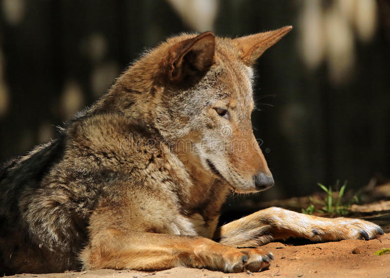 Red Wolf. Close up portrait of extinct in the wild Florida Wolf royalty free stock photography